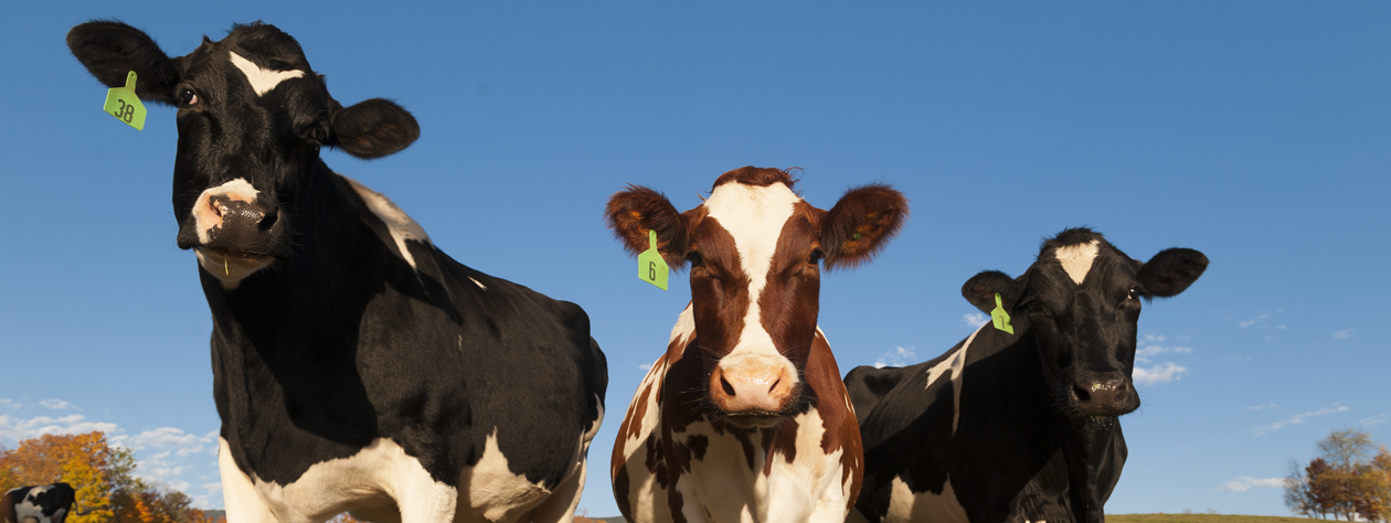 vbb-vt-home-2-cows